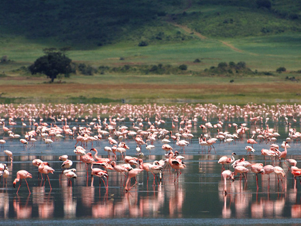 Luxury Migration, Lake & Crater Safari - Pink flamingos