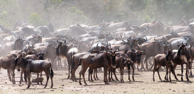 Kenya Safari Guide - witness the wildebeest migration