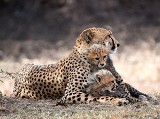 Kenya Safari Guide - cheetah mother & cubs