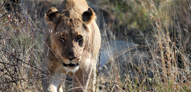 Our Latest Travels Kruger & Madikwe - lion on safari