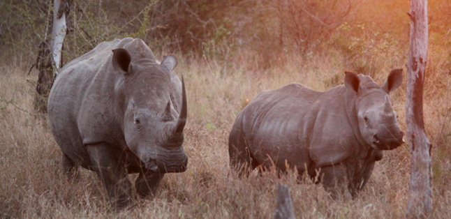 Our Latest Travels Kruger & Madikwe - a rhino and its calf