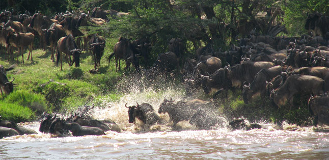 East vs Southern Africa Safaris - wildebeest stake their claim