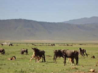 Our Latest Travels Kenya & Tanzania - baby wildebeest on the Serengeti plains
