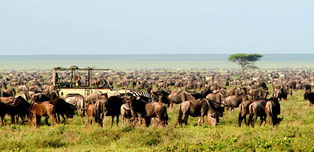Where to Safari - The great Wildebeest Migration can be witnessed in the Sereneti & Masai Mara