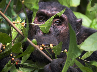 Where to Safari - Gombe Stream & Mahale in Tanzania offers chimp trekking