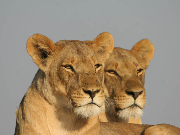 Large antelope & zebra herds make the Kalahari a big cat paradise & its lions are among the biggest in Africa.