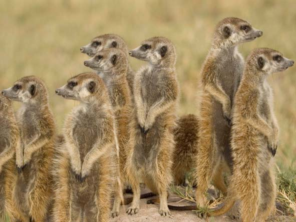 Ever vigilant for danger, the endearing meerkat is one of the Kalahari's most famous residents.