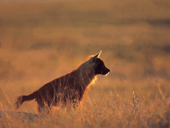 Rare & elusive brown hyenas are one of the highlights of a Kalahari game drive.