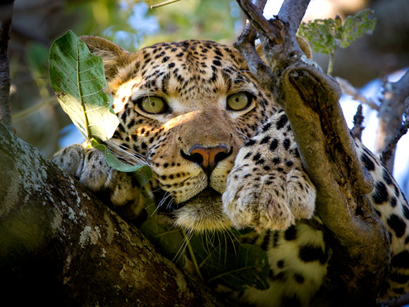 Luxury Botswana Wilderness Honeymoon - Big cat sightings