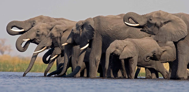 The Big Escape - a large herd of elephants drinking from the Chobe River, Botswana