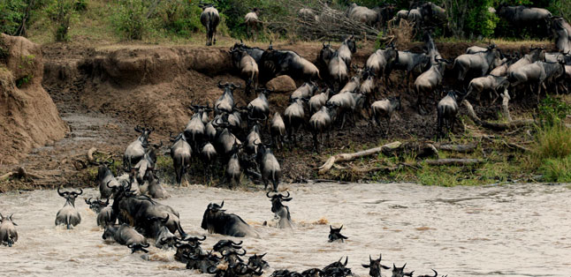 The Big Escape - the wildebeest cross the dangerous Mara River