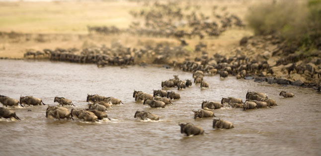 Top 10 Tours - the wildebeest migration in East Africa is a popular attraction