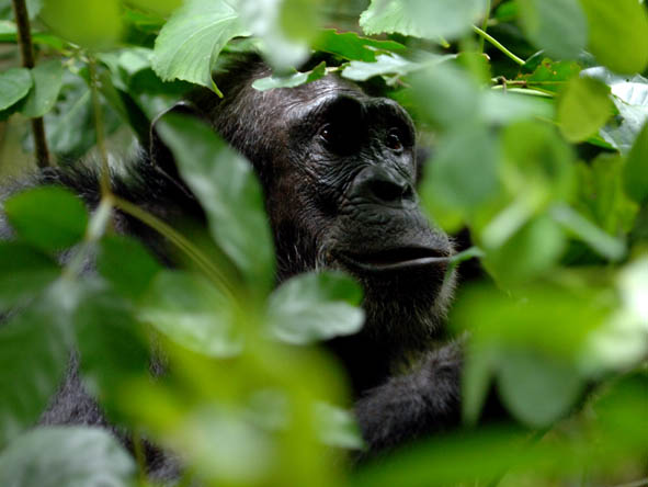 South Central Tanzania - chimp trekking