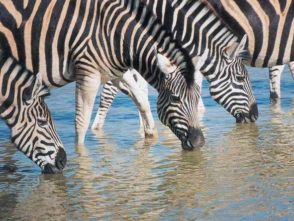 Madikwe - zebra