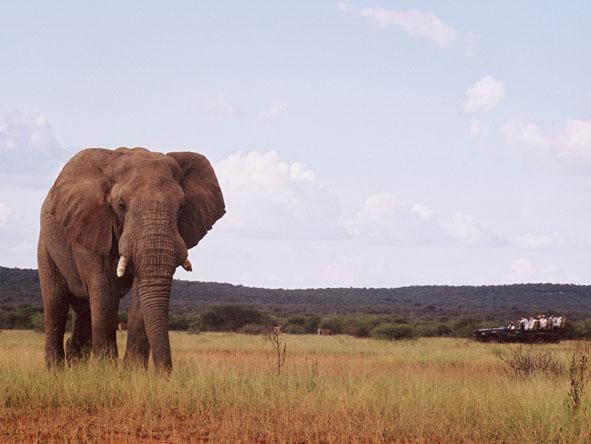 Madikwe - elephant