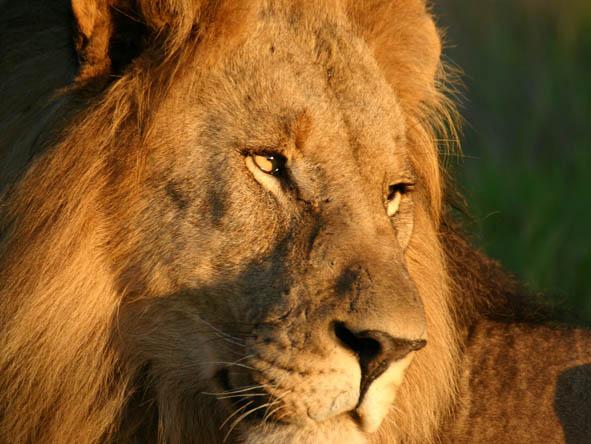 Madikwe - lion