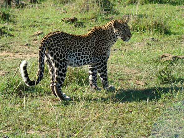 Madikwe - leopard