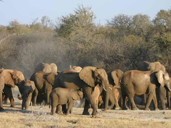 Madikwe - elephant herd