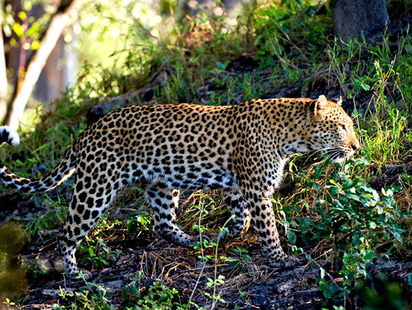 Little Tubu - Leopard sightings