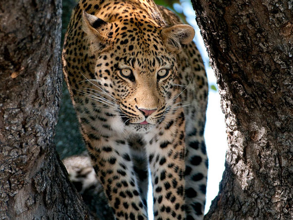 Great Botswana Wilderness Journey - Leopard sightings