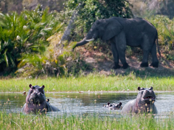 Great Botswana Wilderness Journey - Hippo grunts
