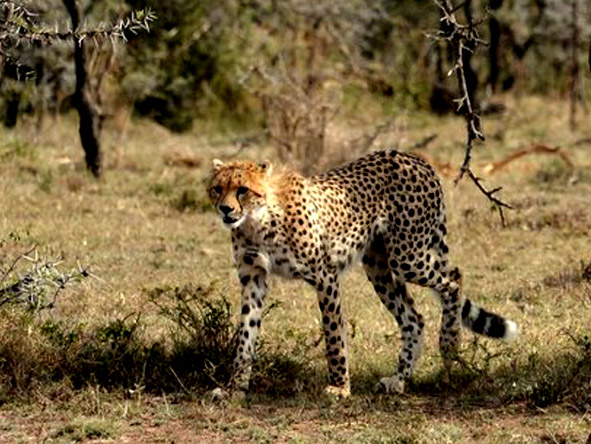 Encounter Mara - Big cat sightings