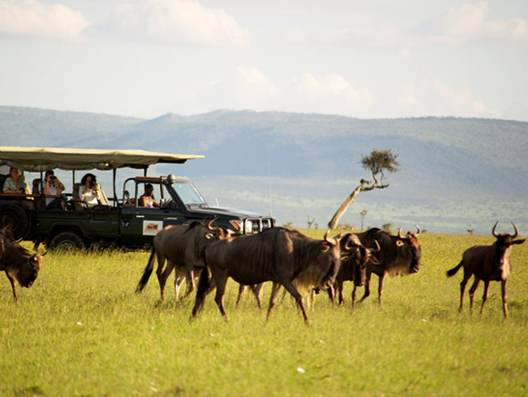 Encounter Mara - Wildebeest migration