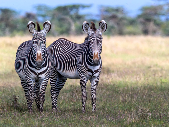 Segera Retreat - Grevy's zebra