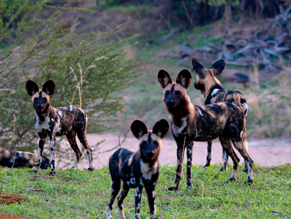 Jongomero Camp - Wild dog spotting