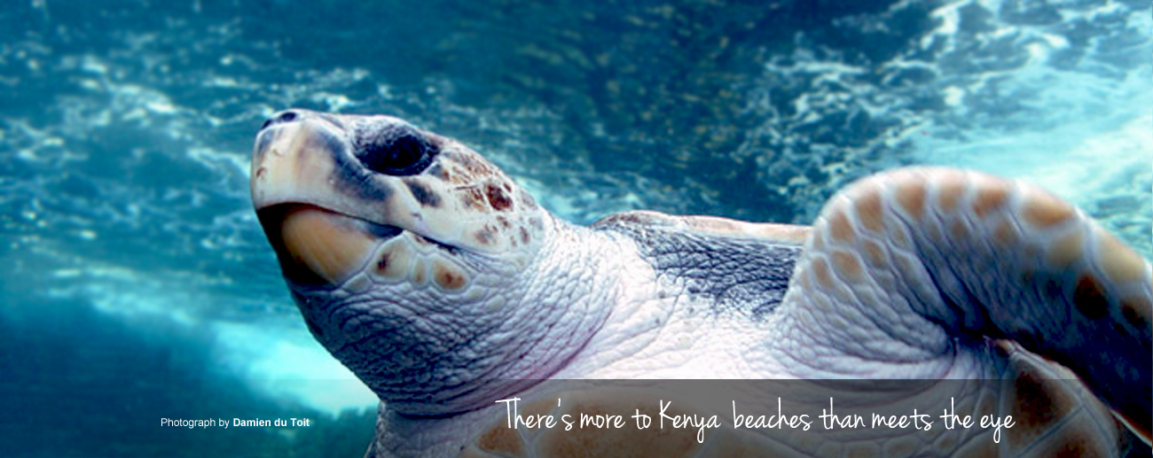 Kenya Beach Guide: loggerhead turtles are often spotted off the Kenyan coast