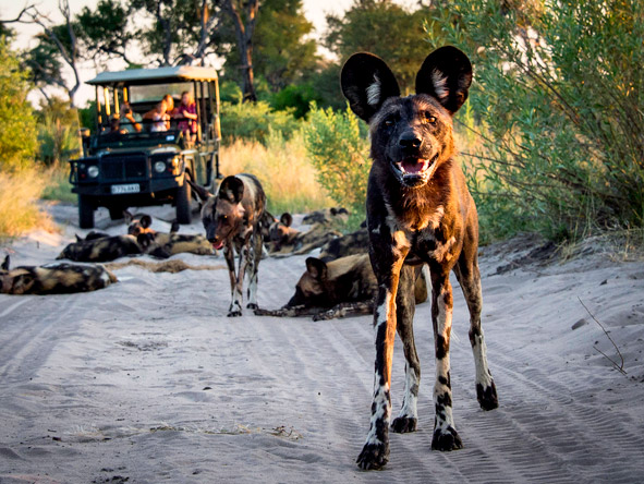 Abu Camp - Wild dog sightings