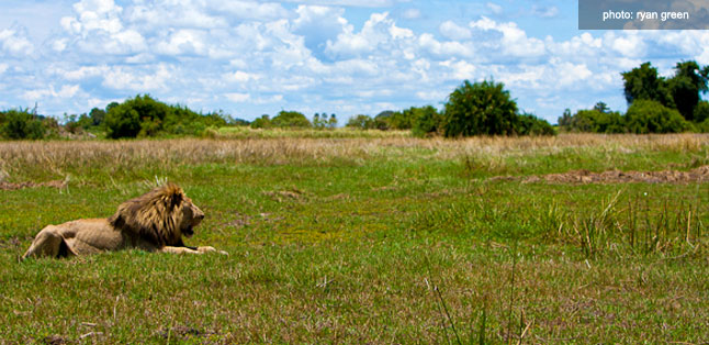 A Green Season Safari Guide - lion in the grass