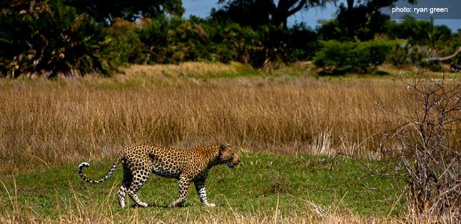 A Green Season Safari Guide - leopard spotted
