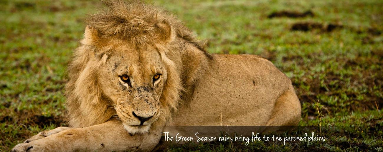 A Green Season Safari Guide - young male lion