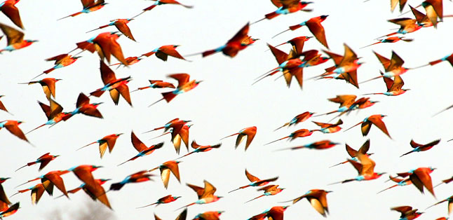 A Green Season Safari Guide - a flock of Carmine Bee Eaters