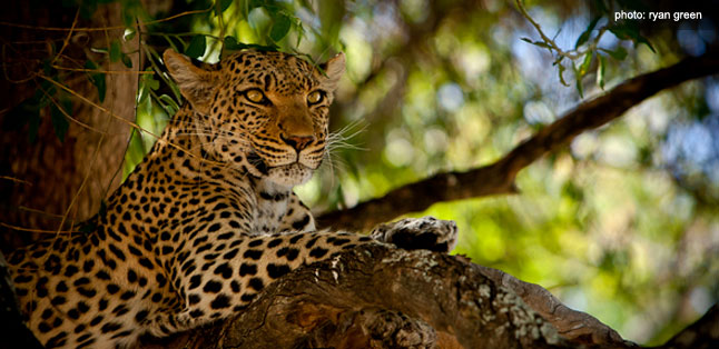 A Green Season Safari Guide - leopard in a tree