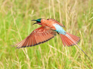 No Rain, No Gain - carmine bee-eaters
