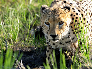 No Rain, No Gain - cheetahs grow sleek
