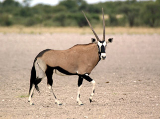 Luxury without Lodges - handsome gemsbok