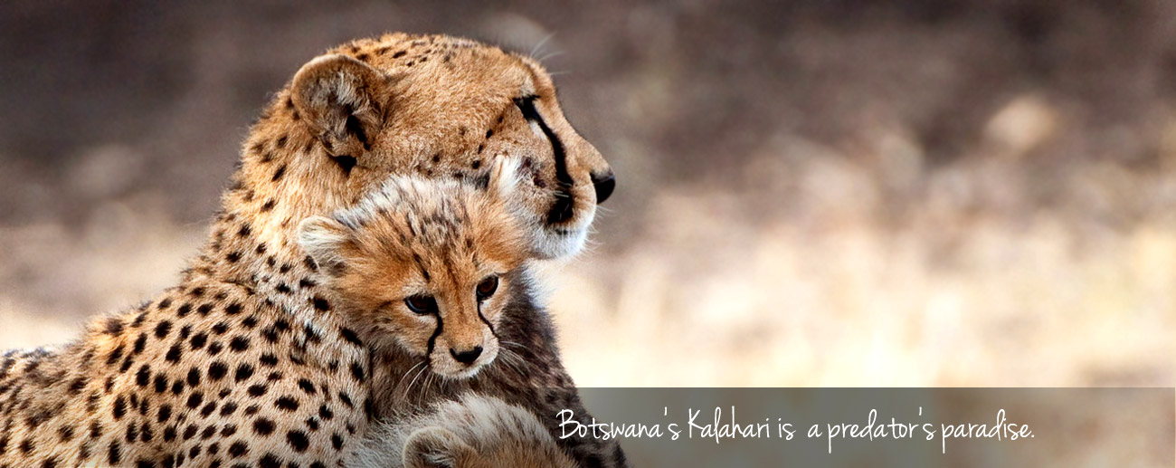 Luxury without Lodges - Botswana's Kalahari is a predator's paradise