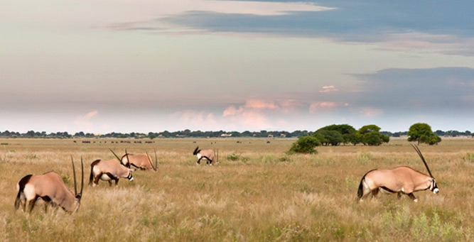 Luxury without Lodges - grazing gemsbok