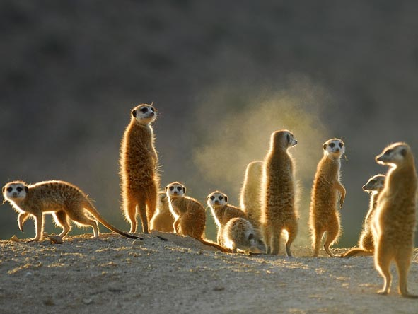 Ever-endearing meerkats are part of the malaria-free Kalahari landscape.