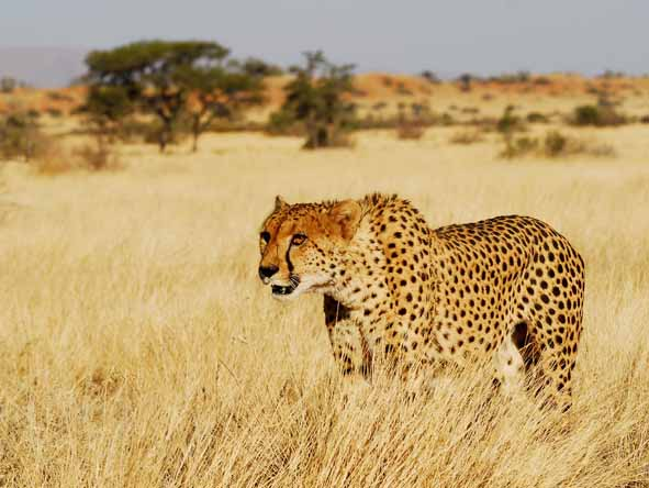 Several malaria-free reserves are strongholds for the endangered cheetah.