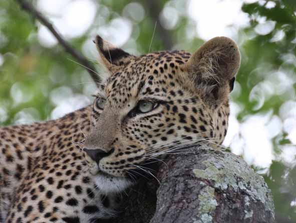 A leopard sighting is usually the highlight of any safari!