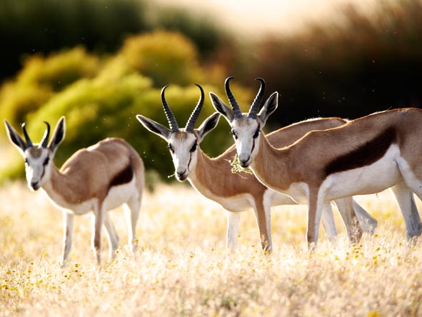 Spot desert species like these springbok on your malaria-free safari.