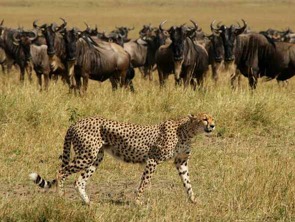 Massed herds on the southern Serengeti plains attract the attention of cheetahs.