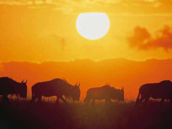 Kicking up dust, the migrating herds contribute to magnificent sunsets!
