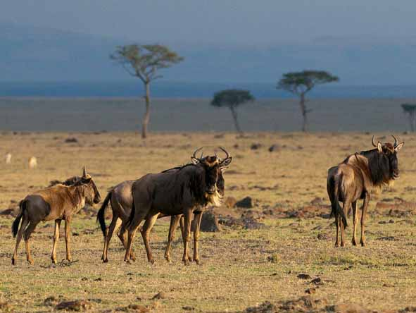 Baby wildebeest grow quickly in the southern Serengeti until it's time to move north.