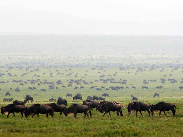 Spreading out across fresh pastures, the herds fill the savannah landscape.