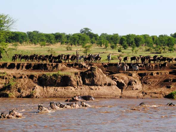 At rivers, the herds wait at well-worn crossing points, looking for a safe run across.